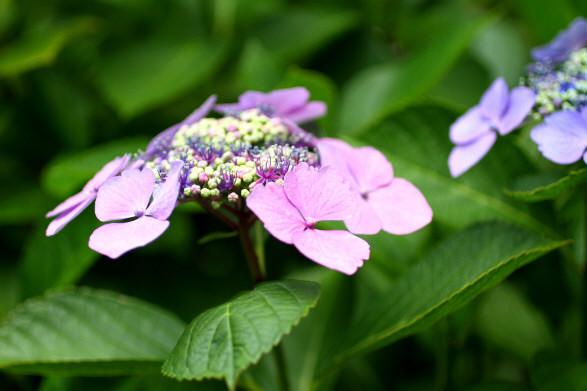 成就院紫陽花5