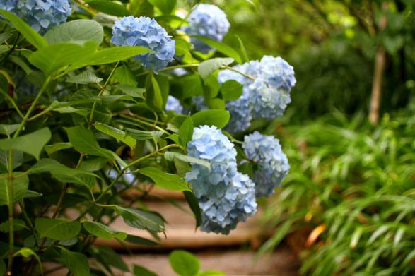 名月院紫陽花5