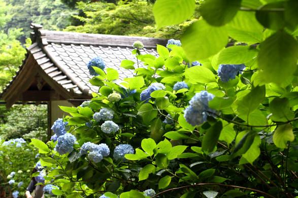 名月院紫陽花7