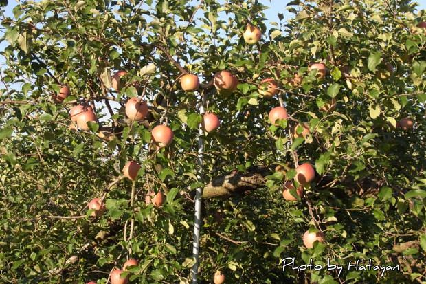 りんご狩1a