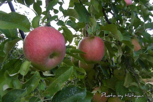りんご狩2a
