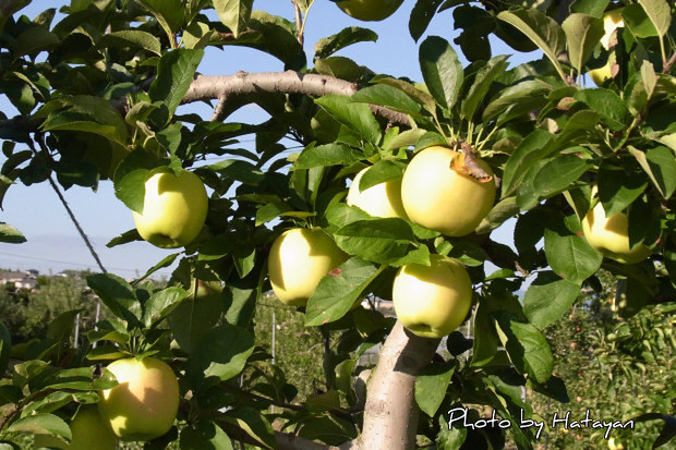 りんご狩5a