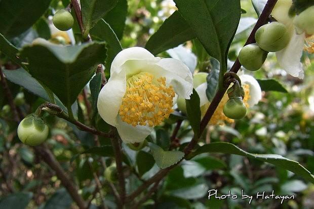 チャノキの花1a