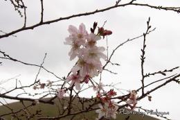 十月桜11a