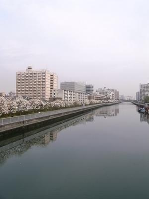 運河を彩るハクモクレン