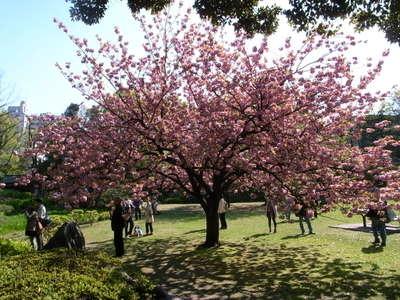 思わぬ桜満開