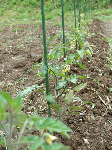 2010.5.26ミニトマト