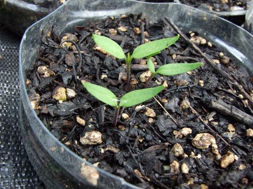 2010.6.28カラーピーマンの芽