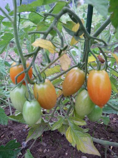 2010.7.11ミニトマト