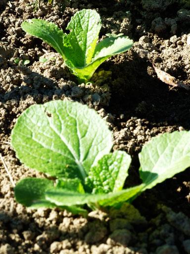 2010.11.4白菜