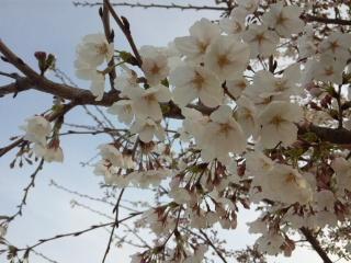 花園サクラ2