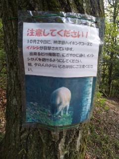 イノシシ目撃情報!