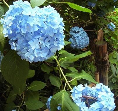 ajisai_20100218_01.jpg