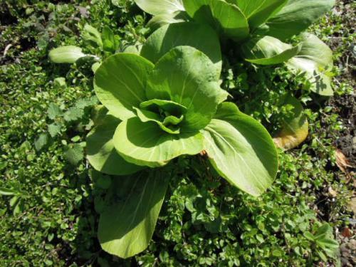 種取り用 チンゲン菜