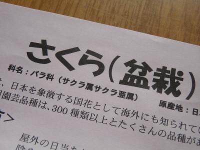 2013.3.24桜2