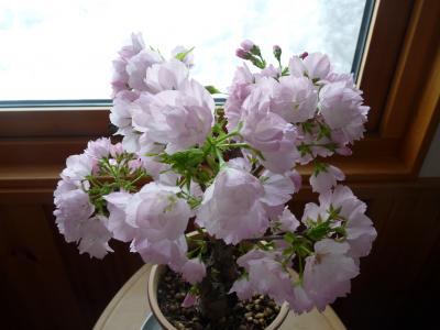 2013.3.24桜5