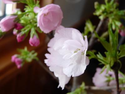 2013.3.24桜4