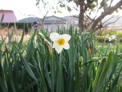 水仙も咲きだしたよ