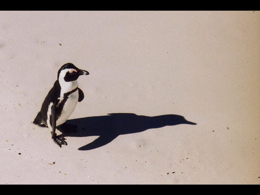 ケープ半島のペンギン.jpg