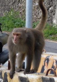 山から下りてきた猿