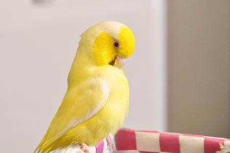 ぼくはマンゴー鳥。