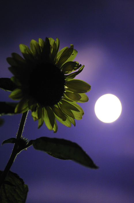 月とひまわり