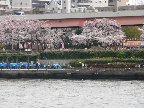 隅田川のカモメ