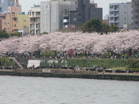 隅田川岸の桜