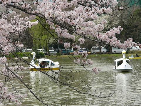 不忍池のスワンボート
