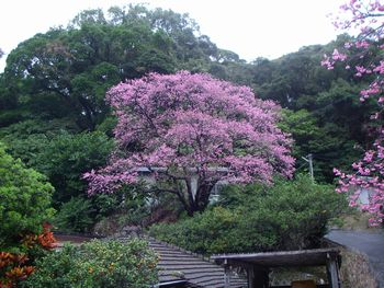本部町一の桜 2