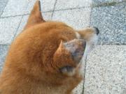 迷い柴犬 耳 2011.1.3