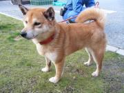 迷い柴犬 2011.1.3
