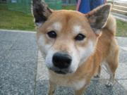 迷い犬柴犬2011.1.3