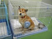 迷い柴犬2011.1.4