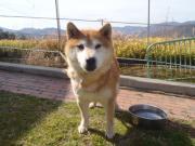 譲渡対象 柴犬 2011.3.5