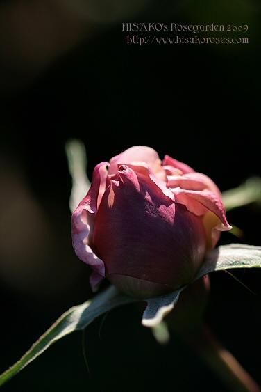 待ちこがれているバラ!