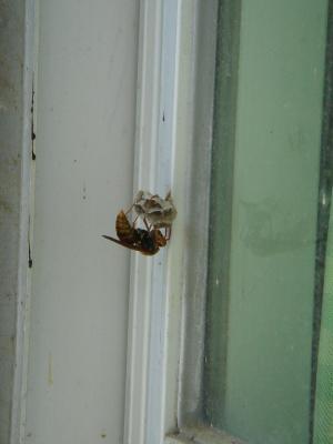 スズメバチ 1