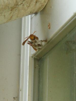 スズメバチ 2