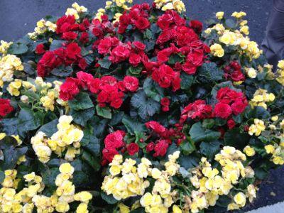 陽明山のお花1