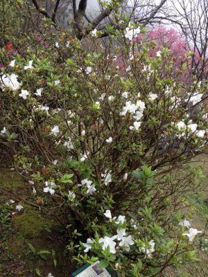 陽明山のお花3