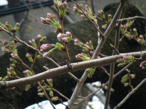 桜3月31日1