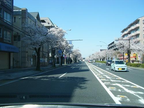 本牧通り桜3