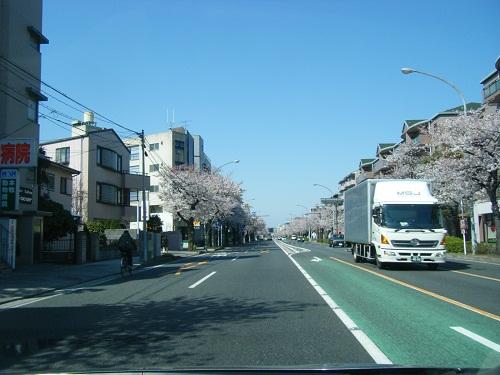 本牧通り桜2