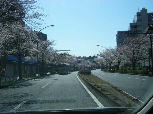 本牧通り桜