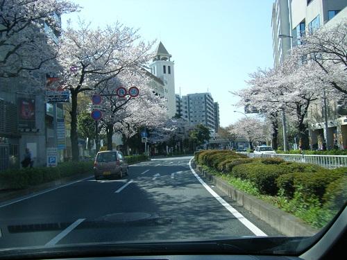 本牧通り桜1