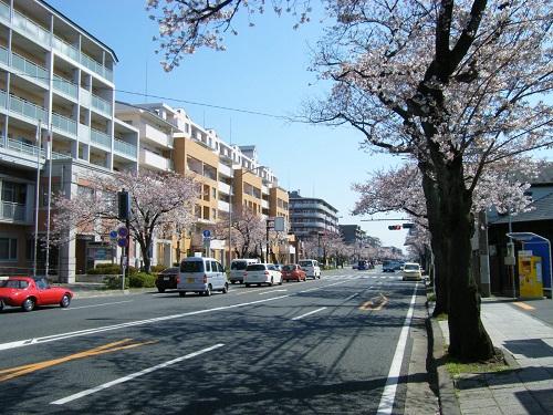 本牧通り桜7