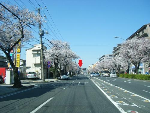 本牧通り桜6