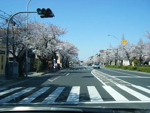 本牧通り桜4