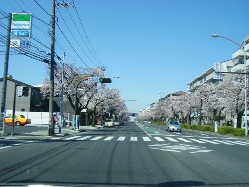 本牧通り桜5