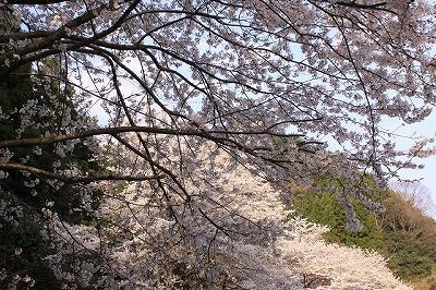 s-桜江町 桜